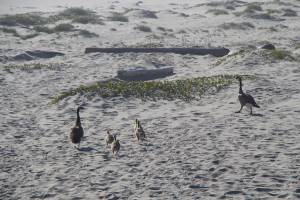 canada geese goose goslings