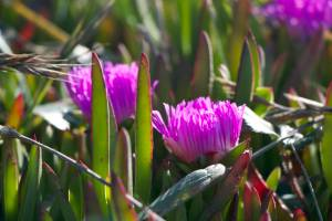 chalk fingers ice plant pink